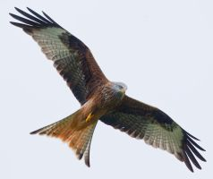 Look out here I come - Red Kite by Jamie-MacArthur