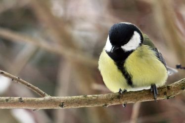 great tit by AlleyCat91