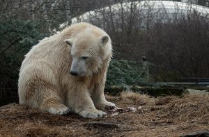 polar bear Knut 11 by Drezdany-stocks