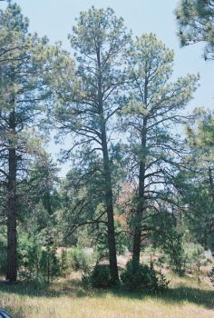 Pines at Pine Flat #2 by Texas1964