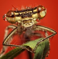 Damselfly by dtr777