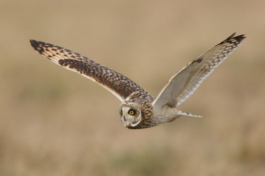 Short eared owl by Jamie-MacArthur