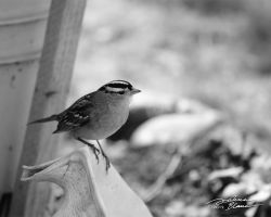 White Crowned Sparrow on conch shell by themanitou