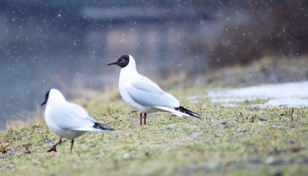 Black-headed gull by impeachment