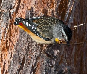 Spotted  Pardalote by Chezza932