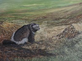 Wolverine on tundra foothills in NW Alaska by wolverineartwork