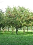 Apple Orchard Stock 2 by Sassy-Stock