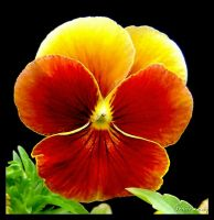 Pansy Power by GeodeLady