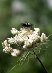 Flower Fly by AbstractDr3ams