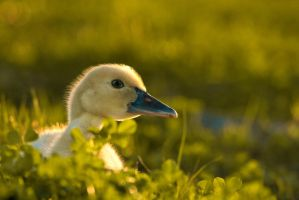 Smiling Duckling by Zx30