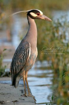 Yellow-Crowned Night Heron by lost-nomad07