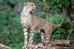 Frisky Cheetah 2 by AnneMarks
