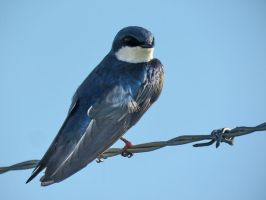 a tree swallow by Nipntuck3