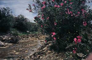 Blooming oleanders at creek by Woscha