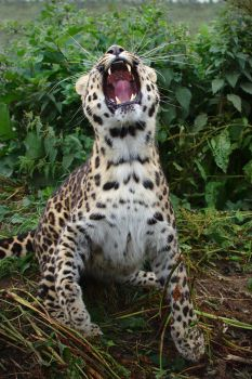 Amur Leopard 20150713-1 by FurLined
