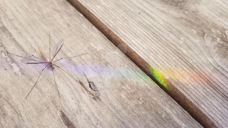 Chromatic Crane Fly