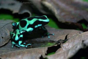 Green and Black Dart Frog by MonarchzMan