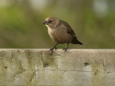 Female Cowbird by LadyLyonnesse