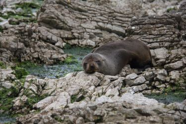 Seal on the Rocks by Kapa-V
