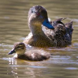 Baby duck watched by KarlDawson