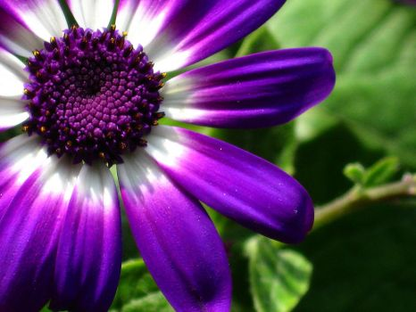 Purple Senetti by Vixxybo