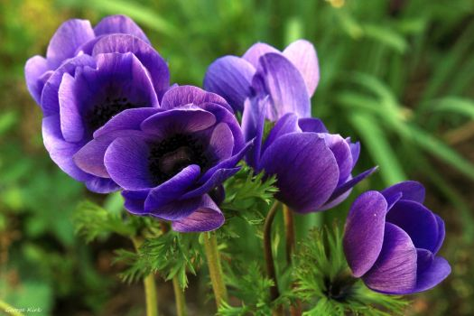Anemones by George---Kirk