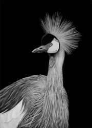 Grey Crowned Crane by PencilSessions