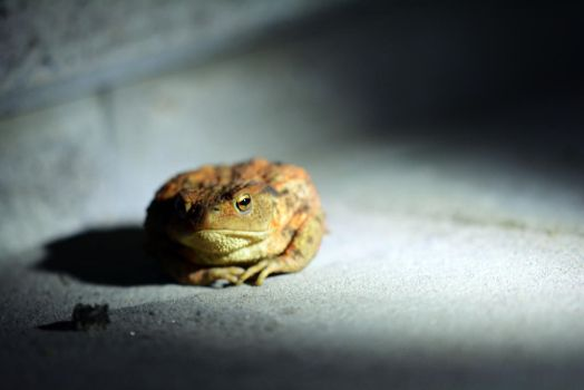 Common toad by Fridelisan