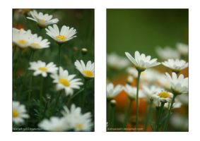 A collection of daisies by LisaTan