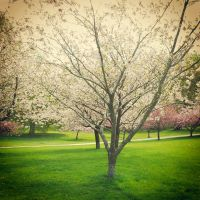 Cherry tree by siby