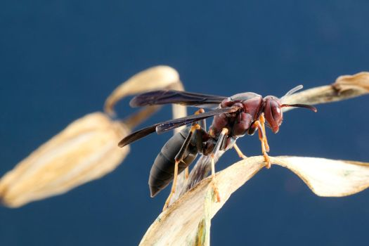 Paper Wasp by ribbonworm
