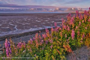 Lupine on the Spit by MSimpsonPhotos