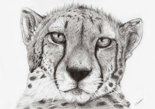 Cheetah by Sir-Hootalot
