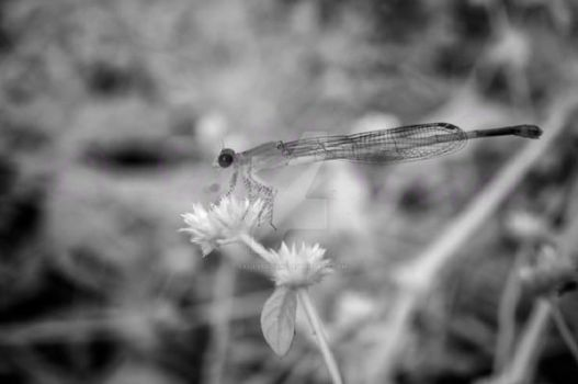 Damsel fly in Infrared by SalilSSahani