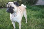 Anabelle the Pug by icantthinkofaname-09