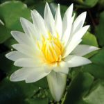 Pygmy Water Lilies By Sueweetie-dc90hpl by Yamio