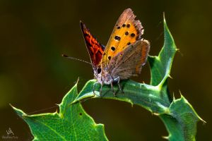 Butterfly Lycaena Phlaeas #1 by VitoDesArts