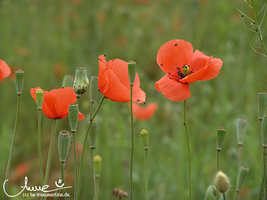 poppies I by happyline