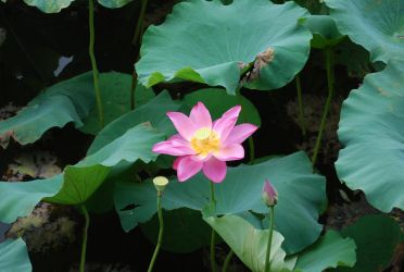 lotus 3.7 by meihua-stock