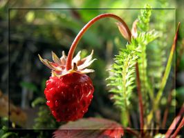 Sweet Wild Strawberry for You by Yancis