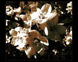 .Flowers. by pecillo