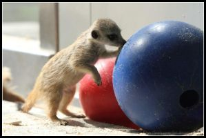 Baby meerkat by AF--Photography