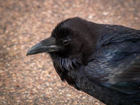 Petrified Forest: Raven by j-ouroboros