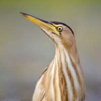 Little Bittern Portrait by Sergey-Ryzhkov