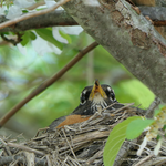 American Robin Nest by Mogrianne