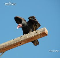 vulture by Frosty-Orca