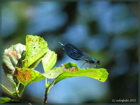 Beautiful Demoiselle I by eulenfeder
