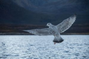 Seagull stock by Aredelsaralonde