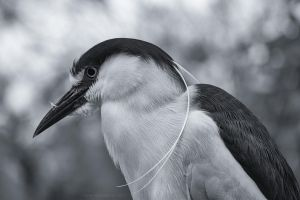 Black-crown Night-heron by ryangallagherart