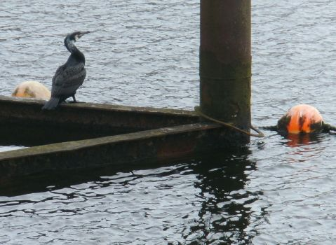 the cormorant by nonyeB